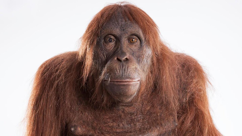 """An orangutan spycam from """"Nature: Spy in the Wild - Friendship."""""""