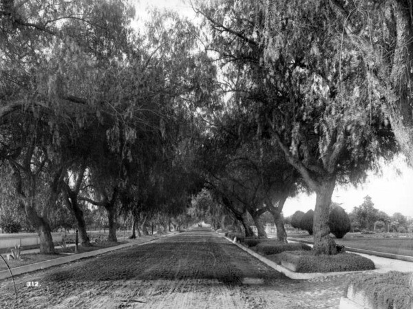 Another view of Pasadena's Marengo Avenue pepper trees. Courtesy of the USC Libraries - California Historical Society Collection.