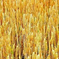 gmowheat1