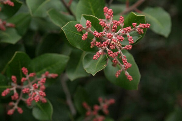 Lemonadeberry (Rhus integrifolia), an evergreen shrub and its berries, can be used for dyes and lemon flavoring | Photo: Laura Vena
