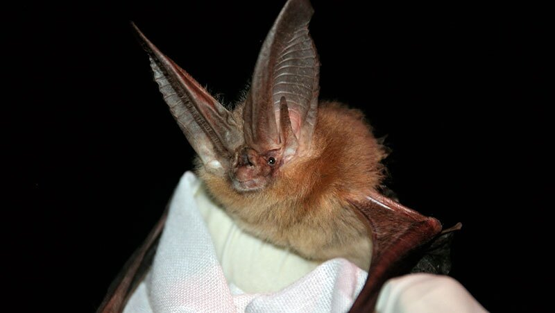 Townsend's big eared bat, one of the species found with the white nose fungus in Texas   Photo: Ann Froschauer, USFWS