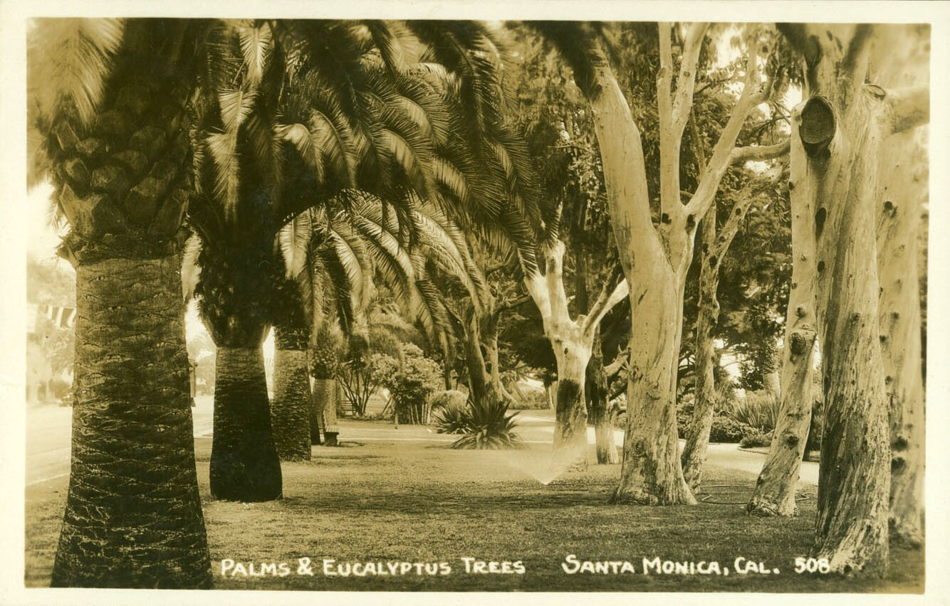 Eucalypti and palms in Santa Monica's Palisades Park. Courtesy of the Postcards of California, Oregon, and Washington Collection, Bancroft Library, UC Berkeley.