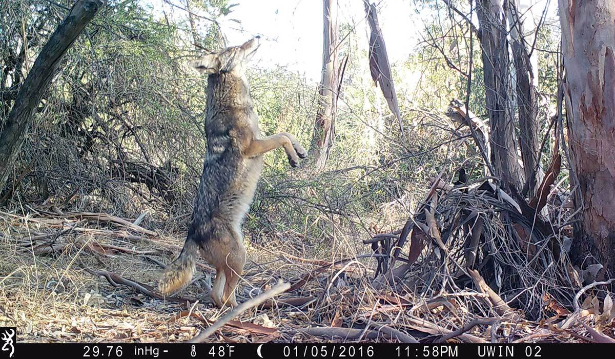 A coyote standing on its hind legs, captured by a new wildlife camera installed by the National Park Service near Silver Lake. | National Park Service/Public Domain