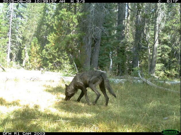 wolf-1-thumb-630x472-96498