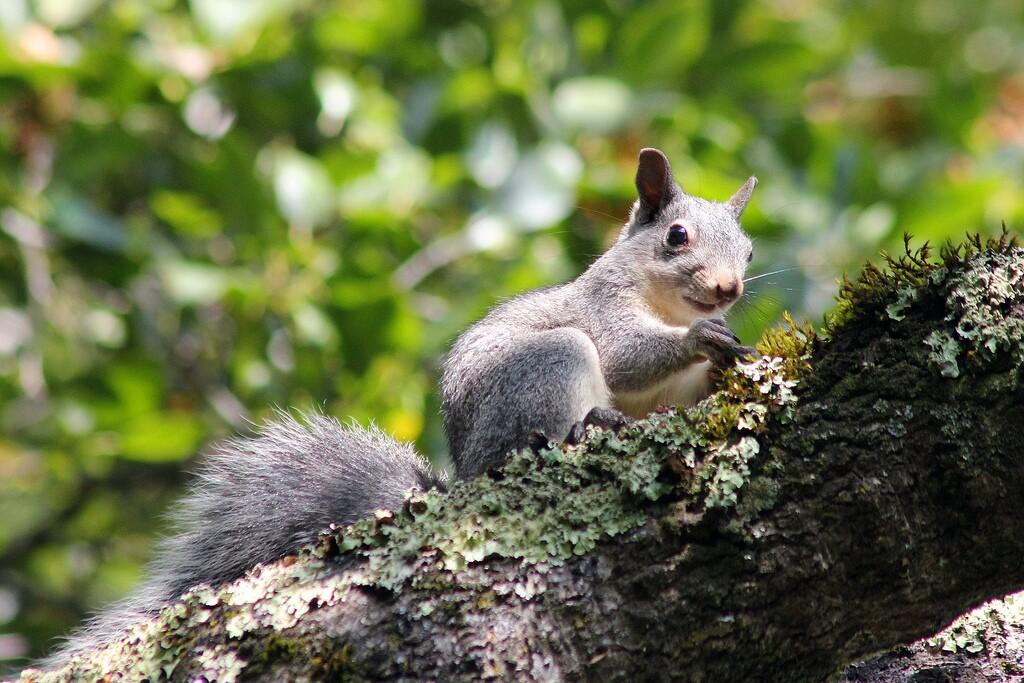 gray-squirrel-3029-16.jpg