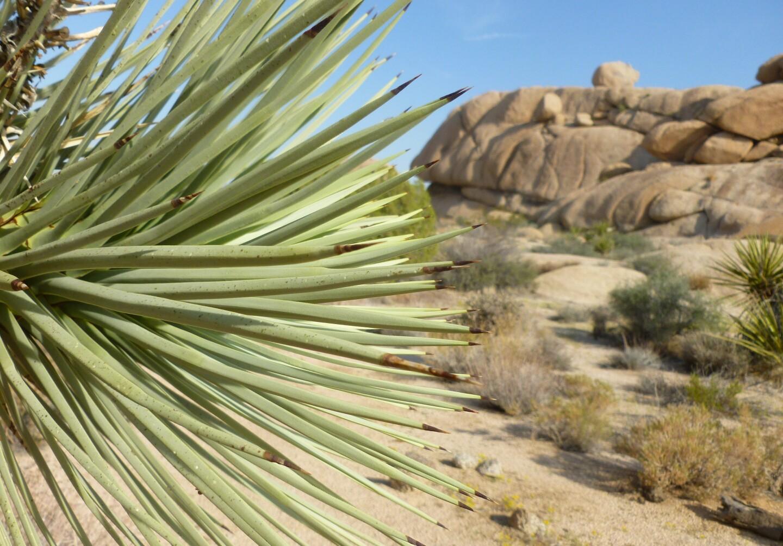 Succulents: Joshua Tree