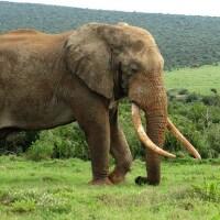 elephant-ivory-9-3-15-thumb-630x385-96936