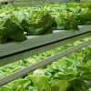 Young Butterhead lettuce growing in one of our TerraFarms™ | Courtesy of Local Roots