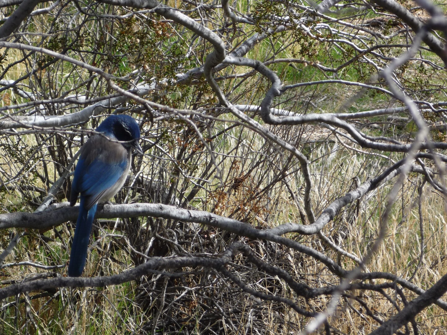 A blued bird perches on a tree along the Marsh Trail.