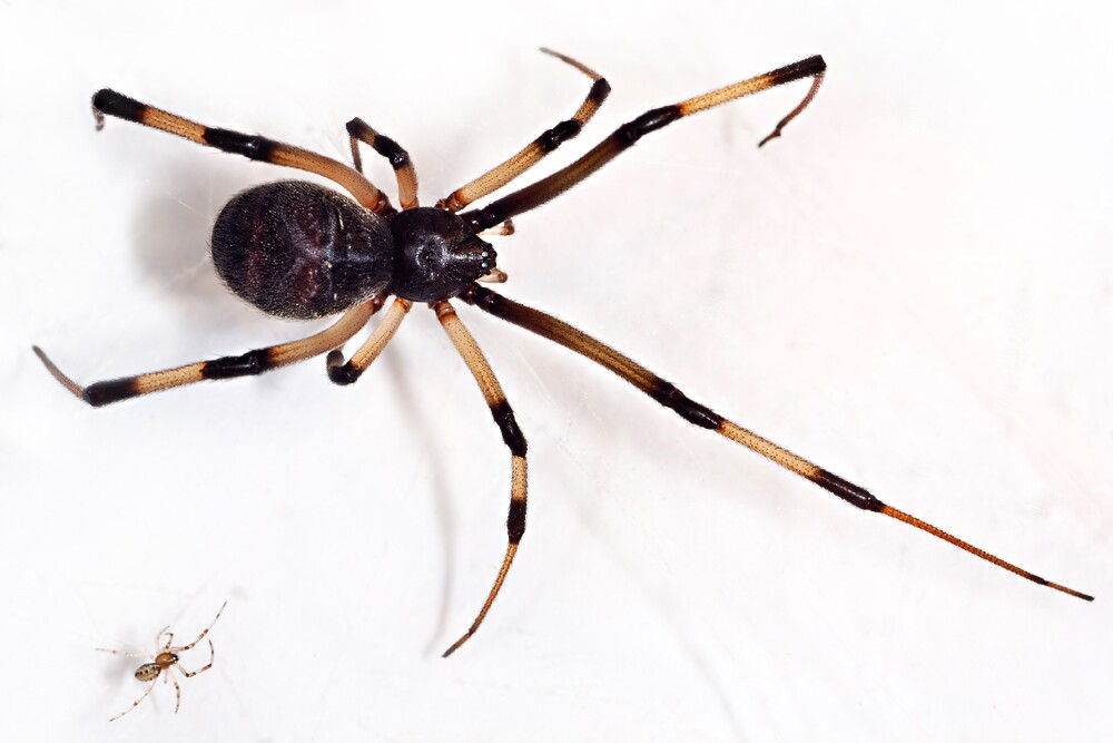 brown-widow-4-3-16.jpg