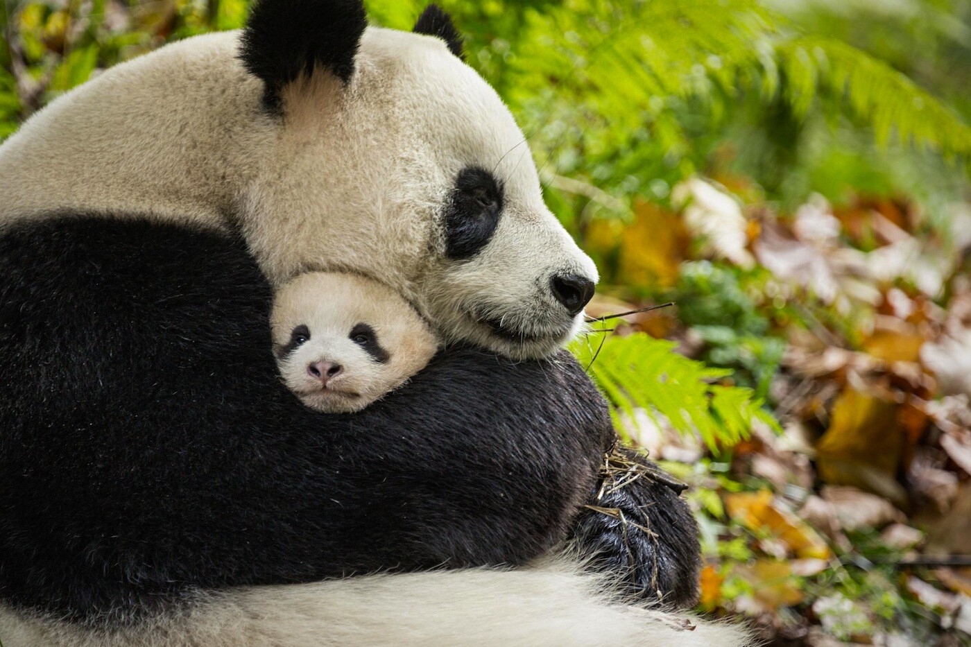 "Disneynature's ""Born in China"" captures pandas and other threatened wild life"