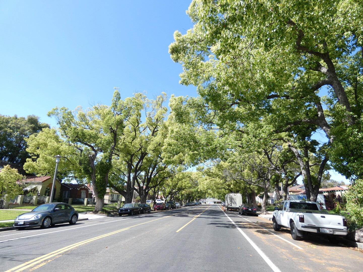 Camphor trees line the streets of Wilmington on Lakme Avenue.