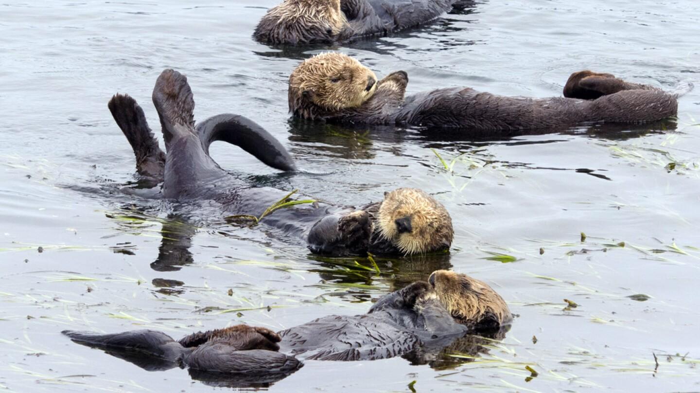 Sea Otters (1)