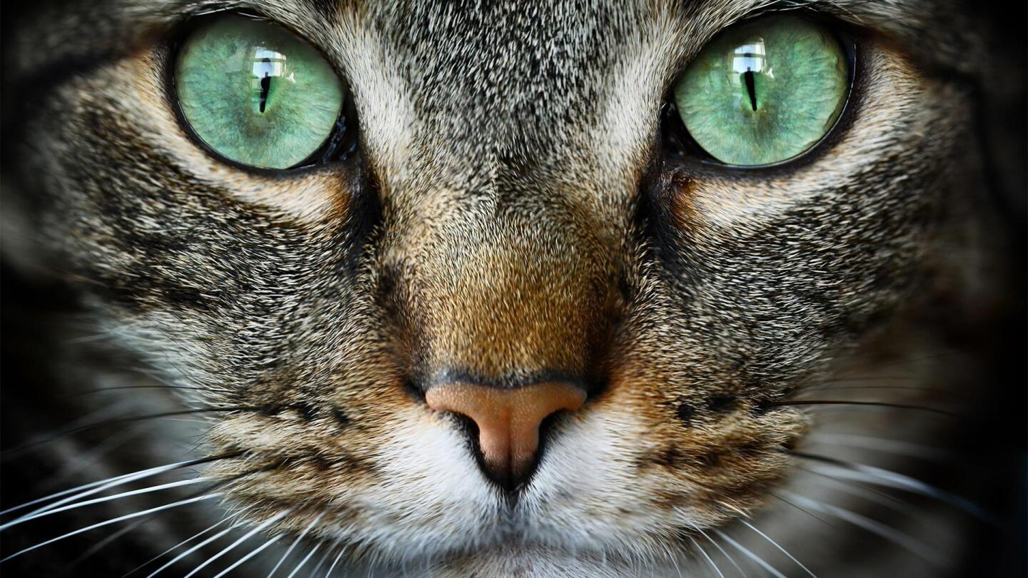 "Close up picture of a cat's face. | From ""NOVA: Cat Tales"""