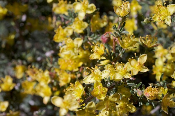 A once-a-decade bloom in Hidden Valley, Joshua Tree NP | Creative Commons photo by Brent Miller