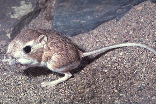 The Kangaroo Rat | Photo © Dr. Lloyd Glenn Ingles, California Academy of Sciences