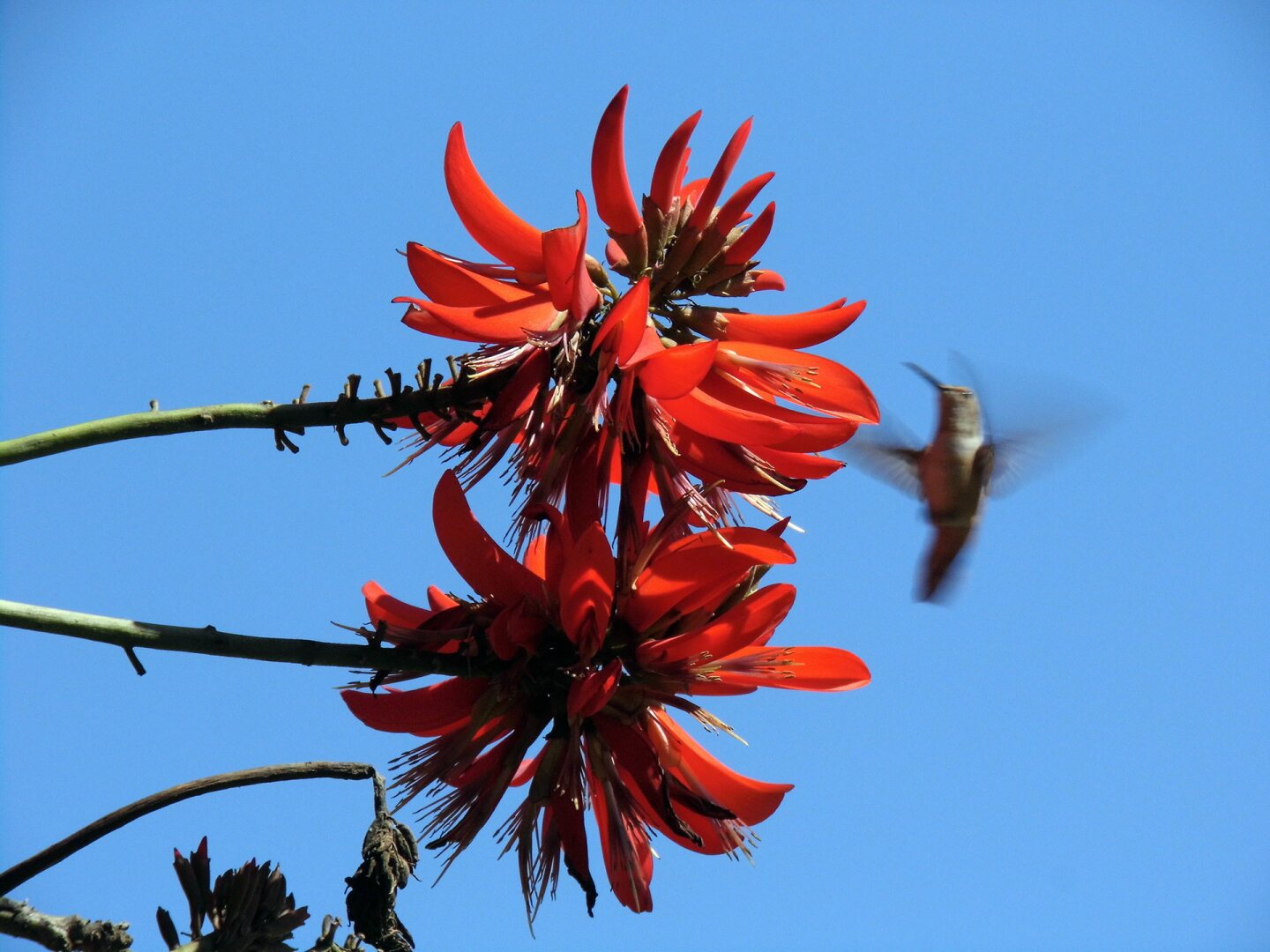 A hummingbird flies near a coral tree flower. | Sandi Hemmerlein