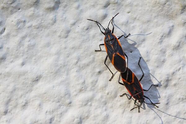 box-elder-beetle-insects-matter-8-3-14-thumb-600x400-80023