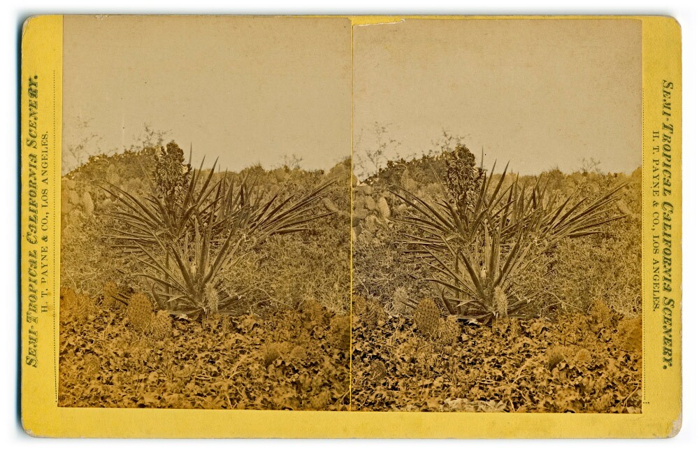 Semi-Tropical California Scenery: Bayonet cactus (H. T. Payne & Company). Photograph courtesy of California State Library