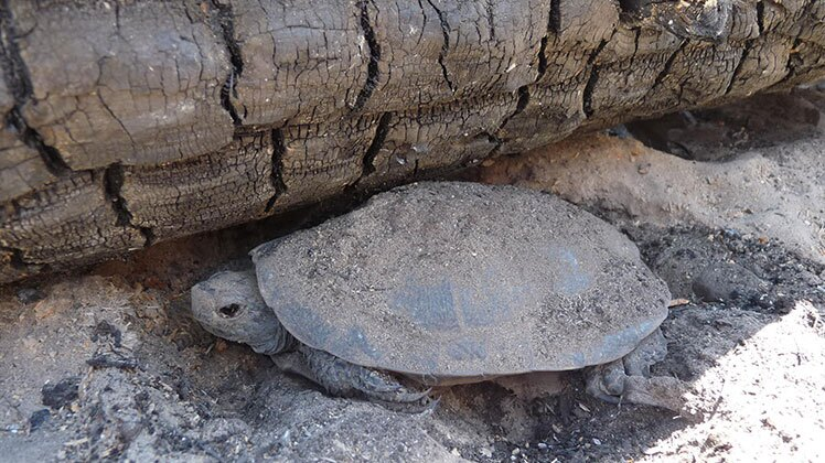 A Western Pond Turtle covered in ash rests near burned log on ridge just west of Lake Eleanor after the Rim Fire. | U.S. Department of Agriculture / Creative Commons