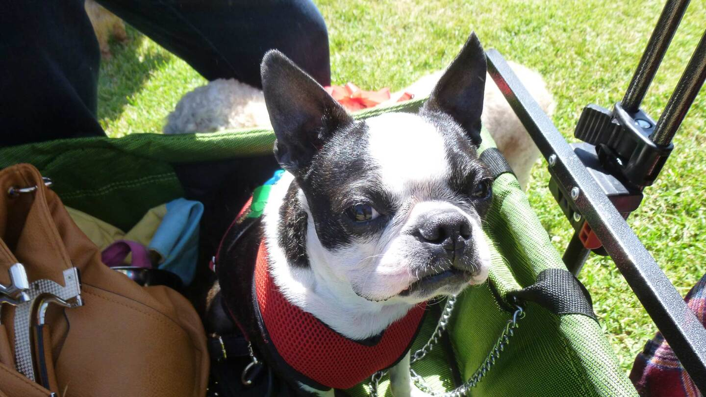 French bulldog sits in a basket at Blessing of the Animals