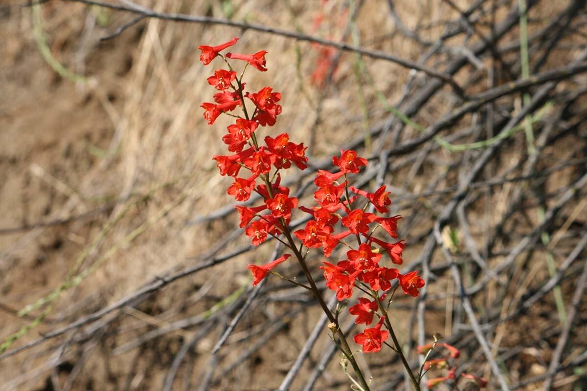 Scarlet larkspur (Delphinium cardinal) at Griffith Park| Courtesy of Gerry Hans