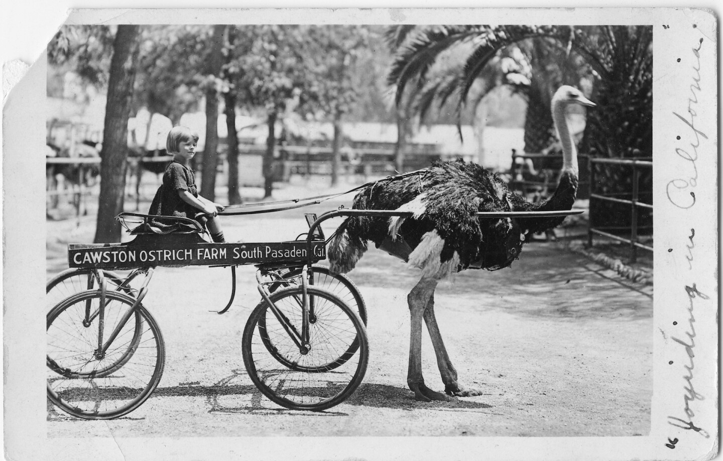Young Betty Lou Young at the Cawston Ostrich Farm circa 1922. Courtesy of Randy Young.