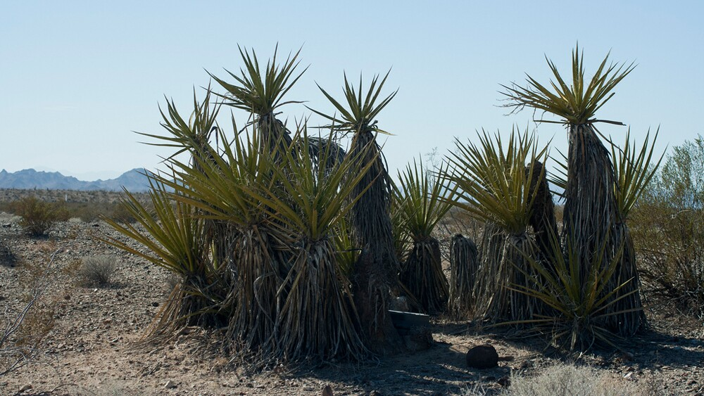 A ring of Mojave yucca | Photo: Chris Clarke