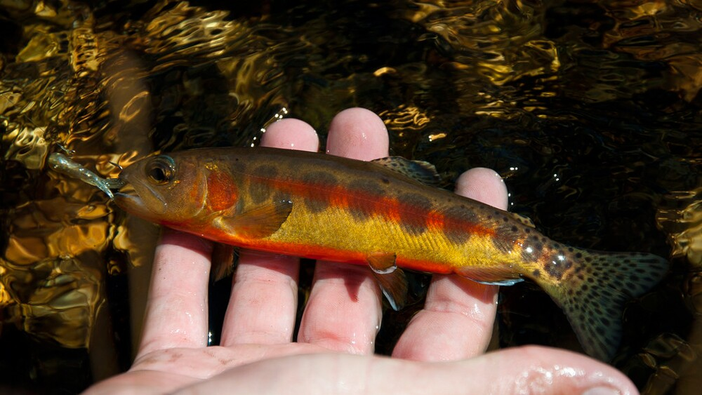 Golden trout on Cottonwood Creek in the High Sierra | Photo: Anthony Greco, some rights reserved