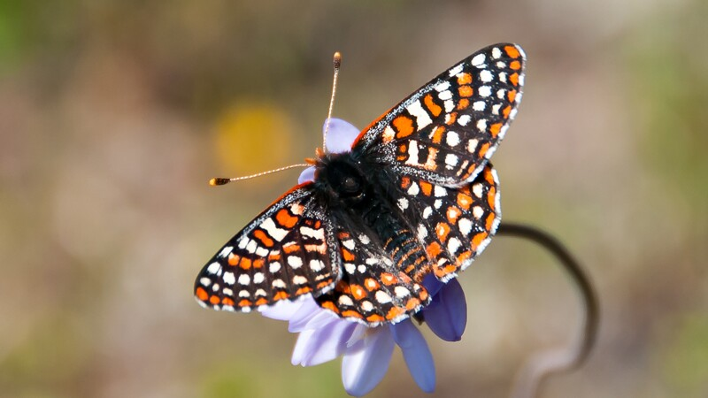 Quino checkerspot butterfly | Photo: USFWS