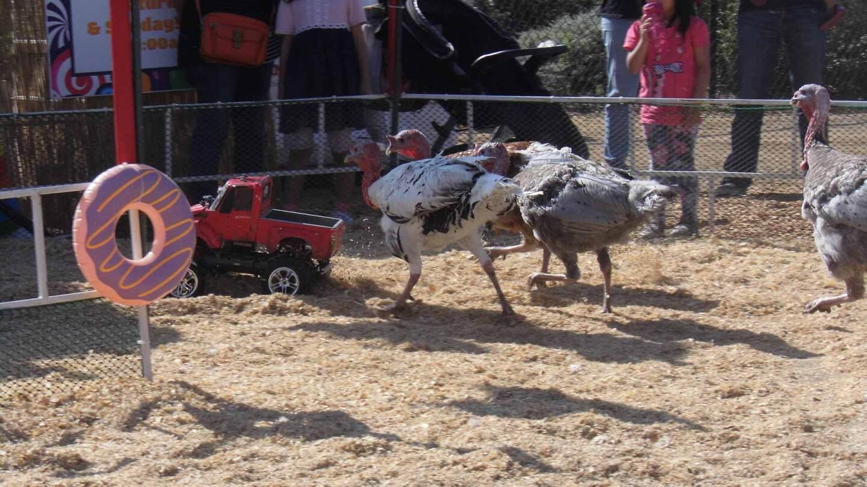 babies turkeys at the san diego county fair