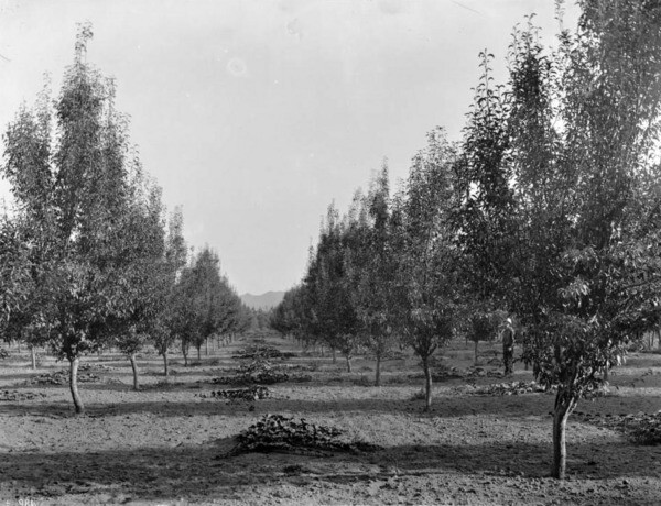 Circa 1900 view of a pear tree orchard in Toluca. Courtesy of the USC Libraries - California Historical Society Collection.