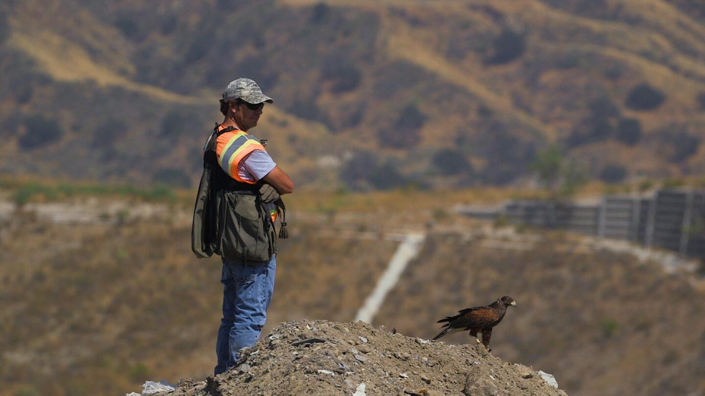 Falconer with his Harris hawk