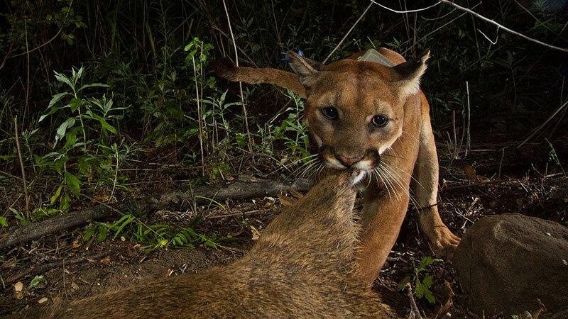 P39 eating deer
