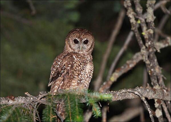 california-spotted-owl-8-25-14-thumb-600x428-79512