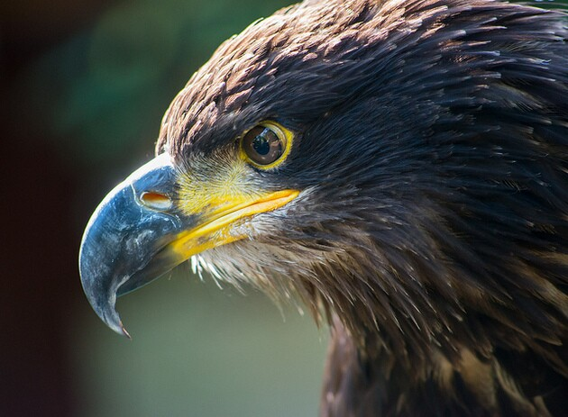 golden-eagle-2-5-15-thumb-630x463-87678