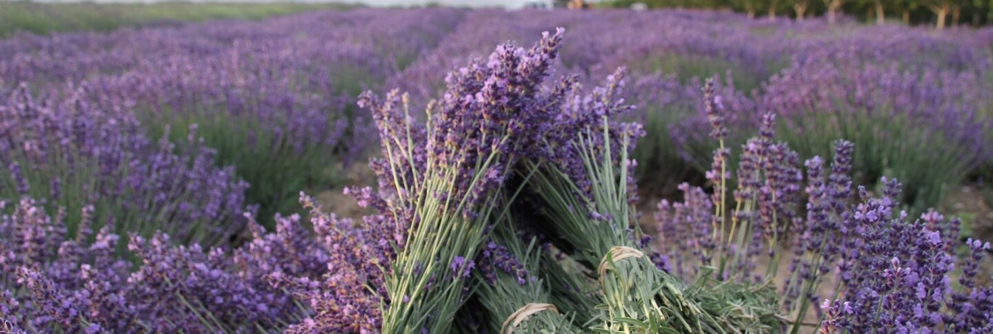 Experience The Stunning Purple And Soothing Fragrance Of Lavender At These Socal Farms Kcet