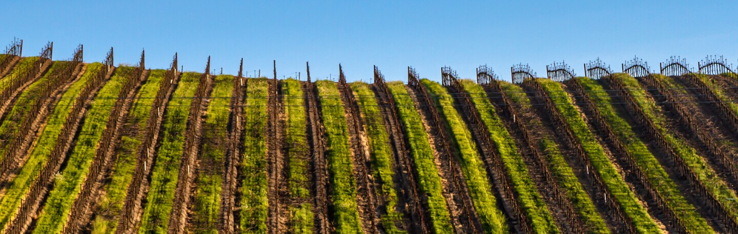Grapevines in Napa | Photo: Alex Merwin, some rights reserved