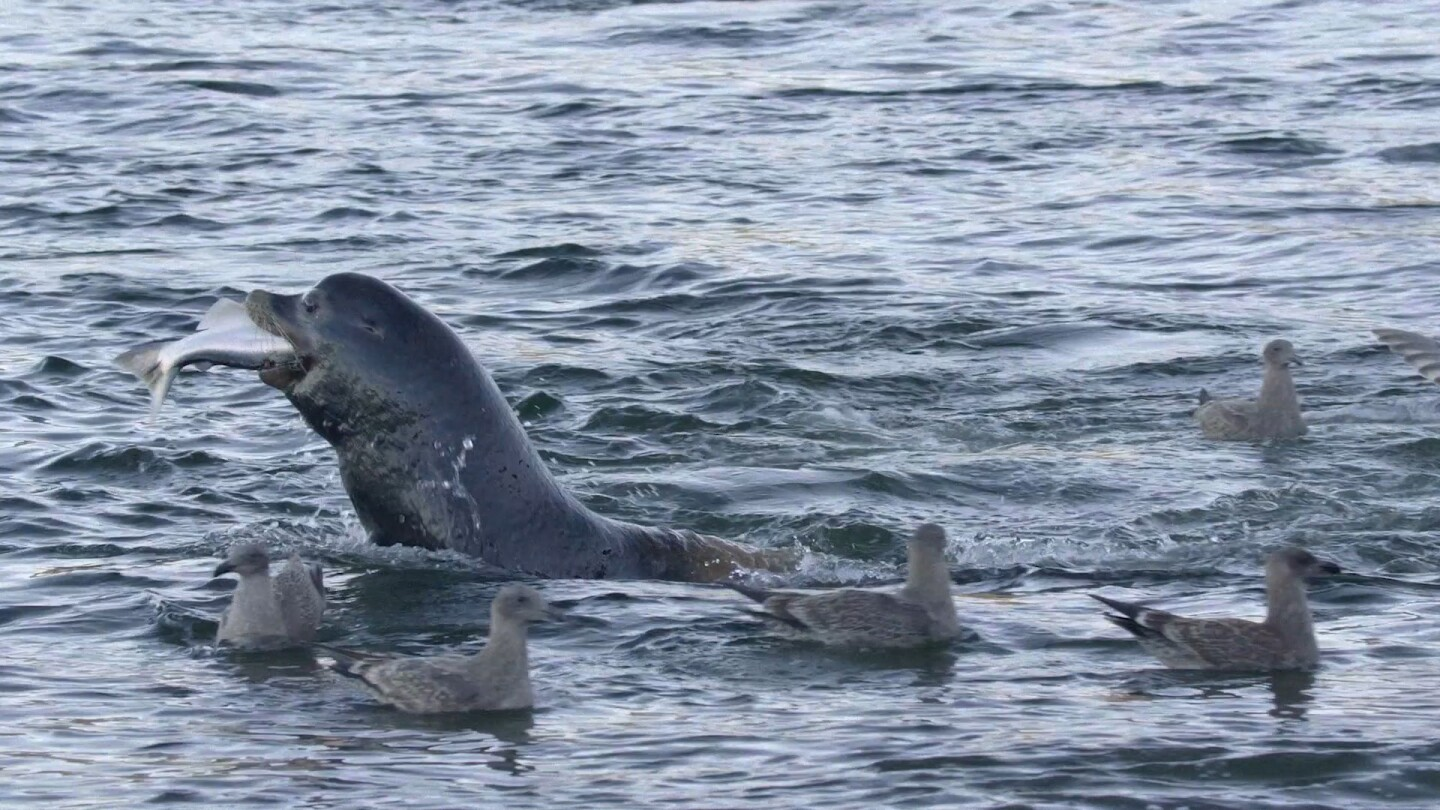 """Seal eating salmon in the ocean surrounded by ducks. 
