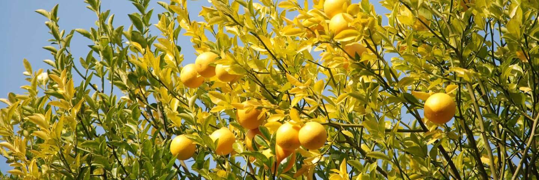 Lemon tree | collectmoments/Creative Commons