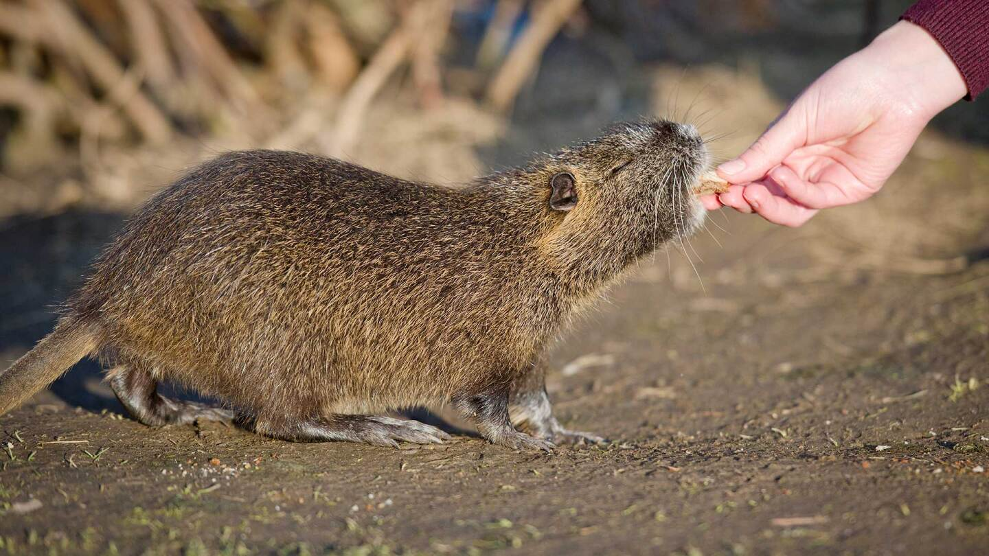 A woman feeds a piece of dry bread to a coypu, also known as a nutria. | Christoph Schmidt/picture alliance via Getty Images