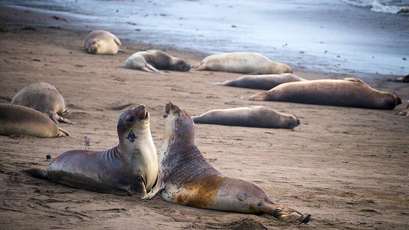Sea lions sparring at Piedras Blancas