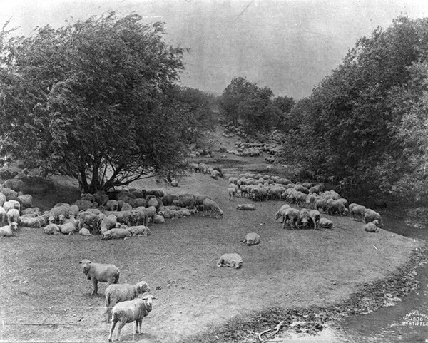 View of sheep grazing in Placerita Canyon circa 1880 | Courtesy of the Los Angeles Public Library