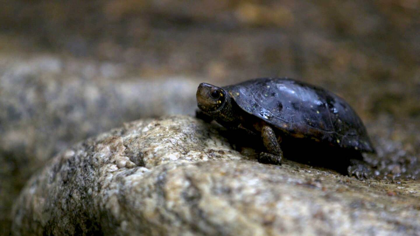 """A spotted turtle, a species endangered on the East Coast of the United States, in a botanical garden at UCLA. 