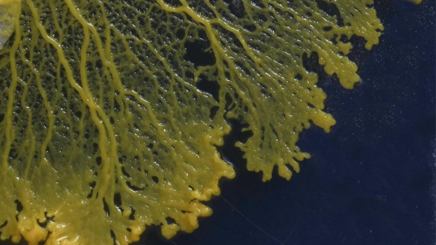 "Closeup of slime branching out. | From ""NOVA: Secret Mind of Slime"""