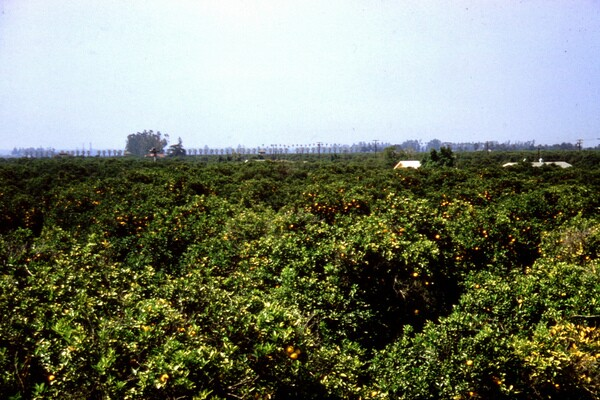 A mature citrus grove in Orange County, 1961. Photo courtesy of the Orange County Archives.