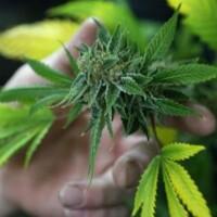 marijuana initiative