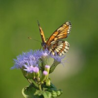 "A bordered patch butterfly rests on a purple flower. | From ""Link Voices: Ay Mariposa"""