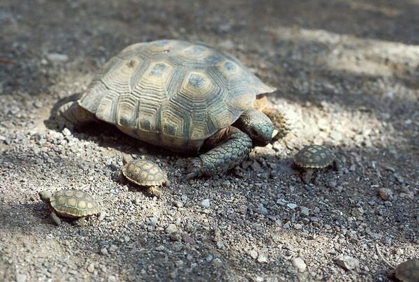 defenders-sues-over-desert-tortoise-3-6-14-thumb-600x404-70107
