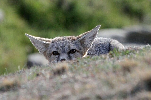 natives-kit-fox-8-8-16.jpg